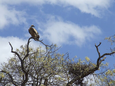 Vulture in Tree
