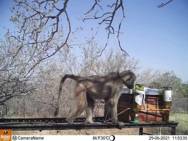 Baboon stealing sugar water